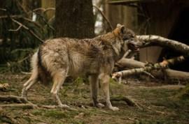 Wolfsrudel-10