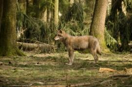 Wolfsrudel-16