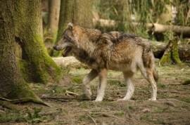 Wolfsrudel-2