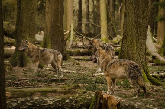 Wolfsrudel-7