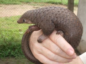 Real pangolin