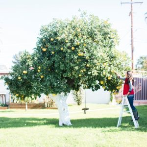 grapefruit tree picking girl on ladder