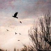 The Crows - Take Flight 2 - Diana Jane Art