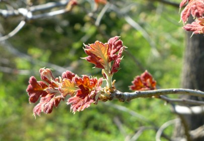 Budding leaves on a black jack oak.