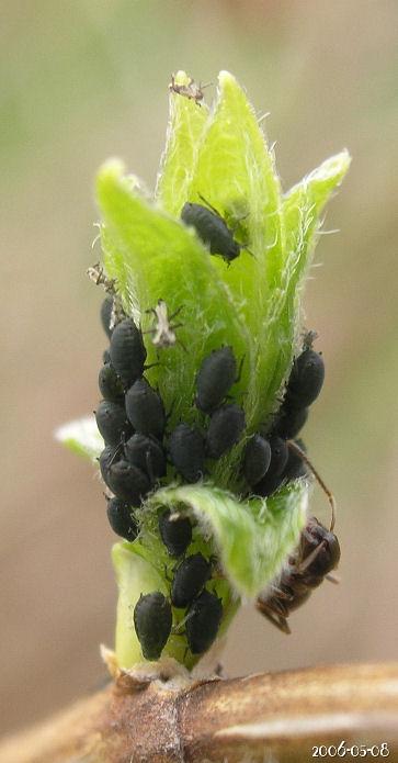 Svarta löss och myror