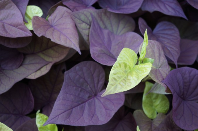 photograph of green leaves amidst purple leaves