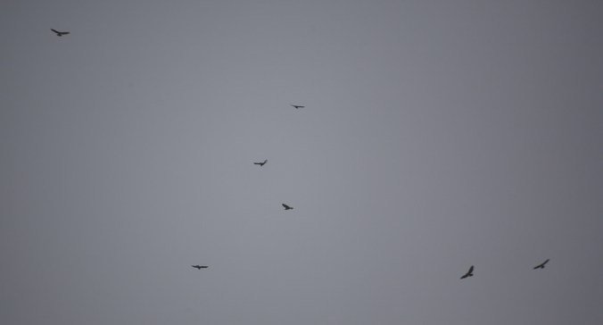 photograph showing 7 buzzards circling in the sky