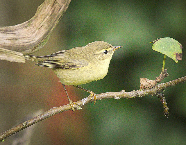 photograph of chiffchaff on branch