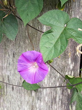 photograph of a morning glory flower and leaves against a weathered fence