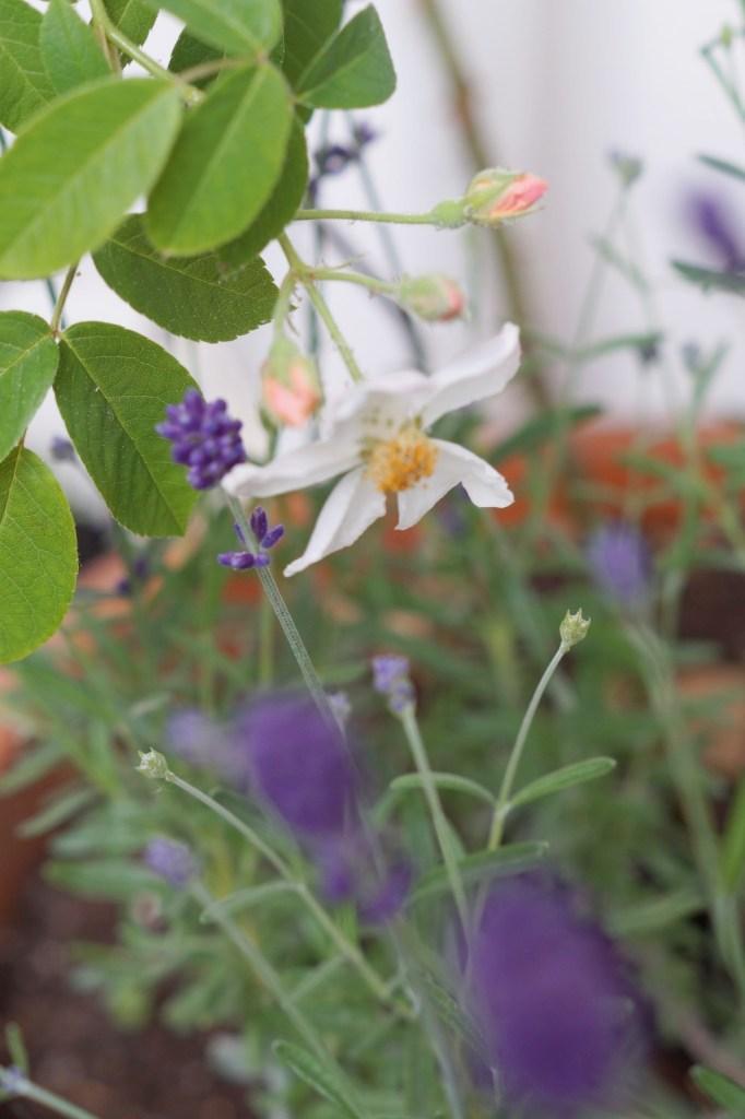 Rosen und Lavendel zusammen pflanzen