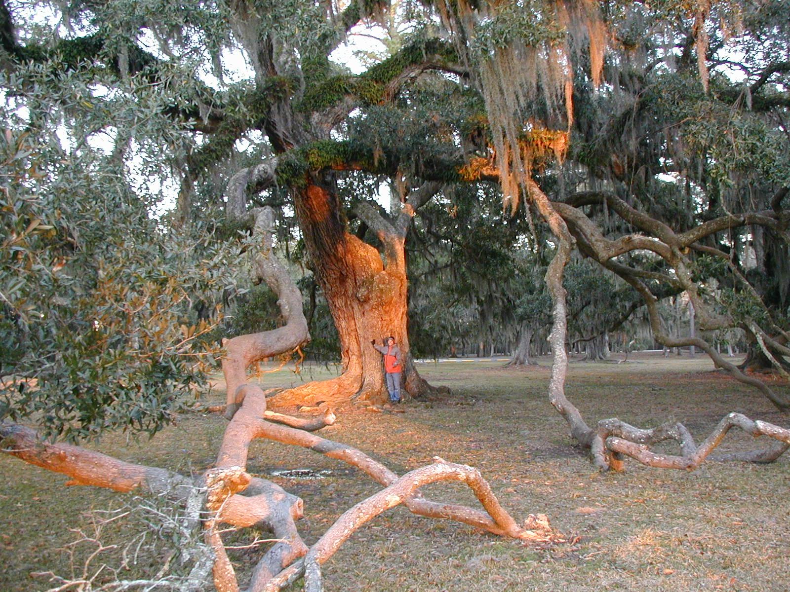 The Largest Oak