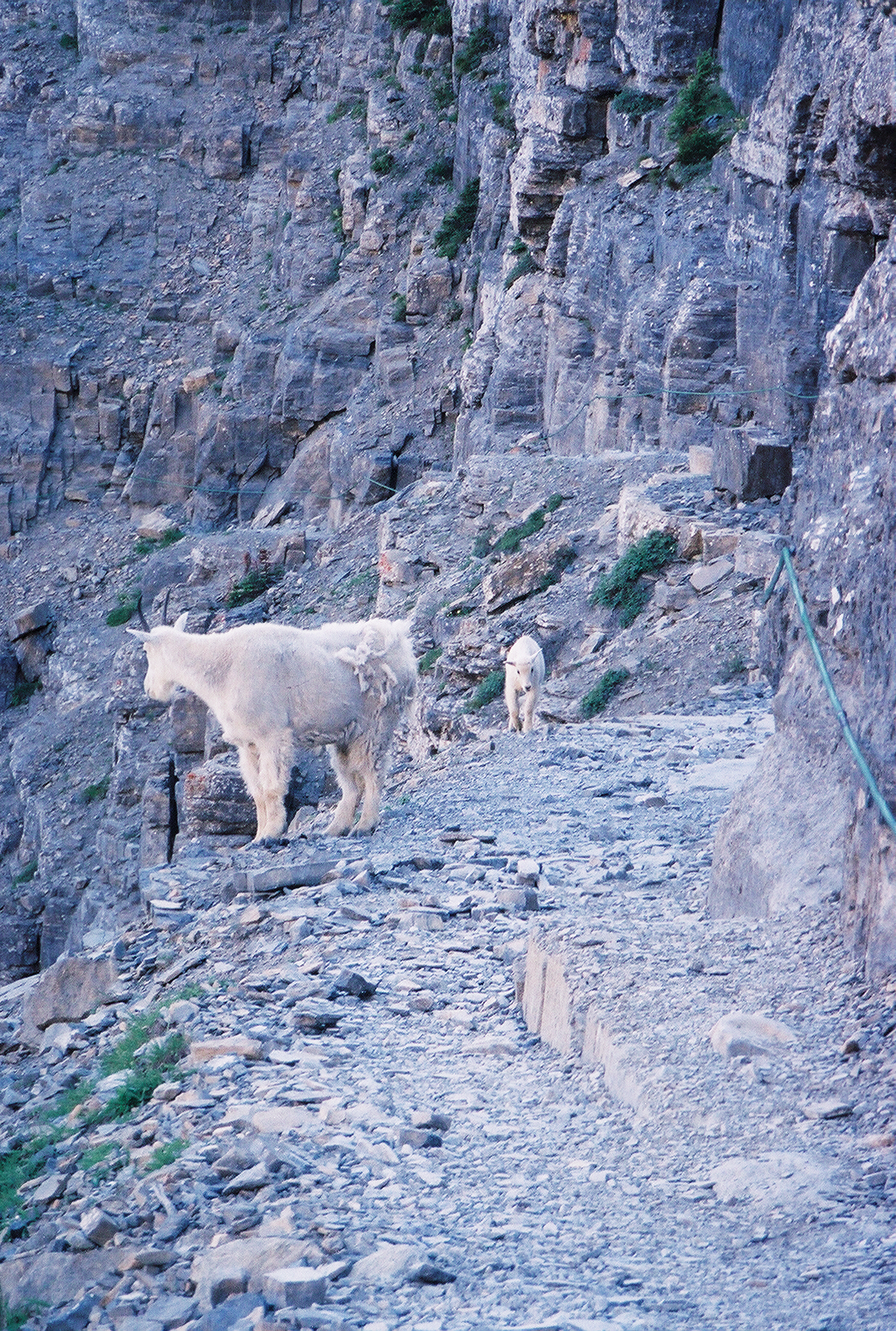 Mountain Goats on Trail