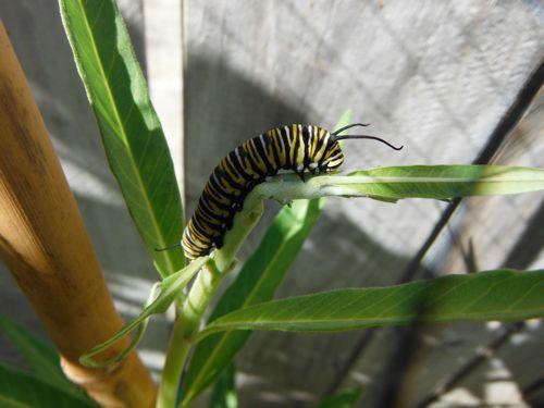 Big caterpillar munching.