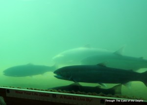 the fish ladder as seen from the underwater viewing window