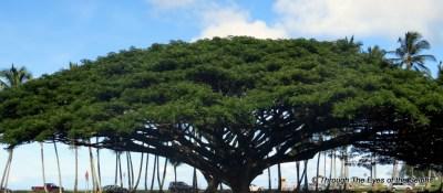 The Monkeypod trees look like large umbrellas