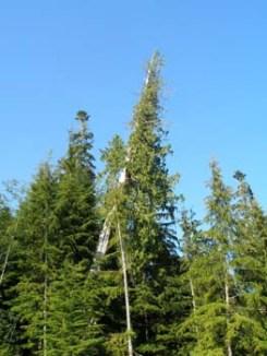 Strange tree growth on West Coast Road Above Sombrio Beach North of Jordan River, BC