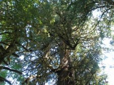Harris Creek Giant Spruce - Top approximately 23km NE of Port Renfrew (about 5km past Lizard Lake)