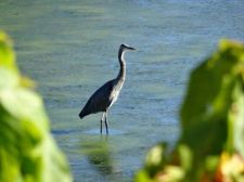blue_heron_on_beach