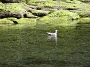 green_mossy_rocks_seagull_on_water