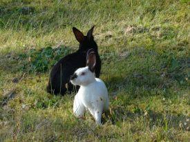 wild_rabbits