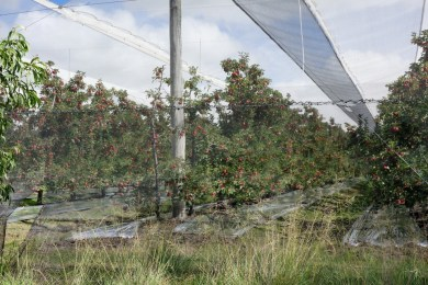 well protected apple trees