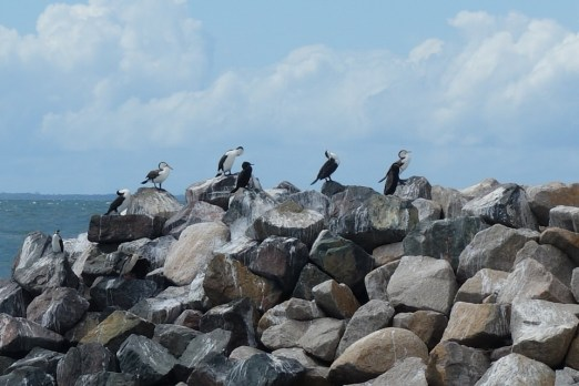 Pied Cormorants at Redcliffe