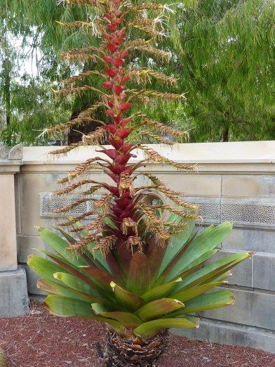 Royal flowering plant