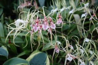 Brassia Spider orchid