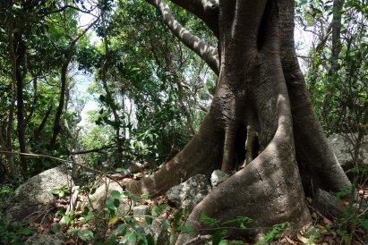 Buttress root
