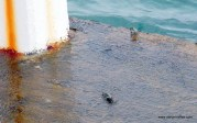 Crabs on the pier