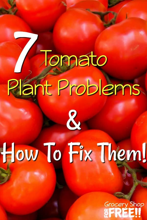 Tomatoes can be easy to grow and can also often come with many problems. No need for expensive solutions. These 7 tomato plant problems and solutions will help!