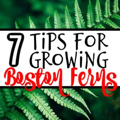 7 Tips For Growing Boston Ferns (3)