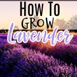 Lavender: Propagating, Growing, Harvesting, & Uses