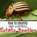 Potato Beetle: How To Identify & Chemically Free Control Them