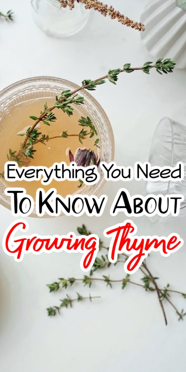 Thyme is a versatile herb that would make a great addition to any garden. If you want to learn more about How To Grow Thyme and other varieties like Lemon Thyme, click through NOW to learn all you need to know...