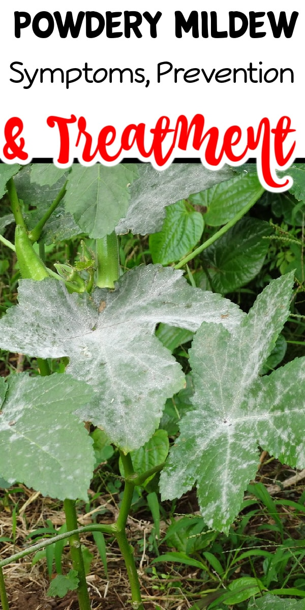 Powdery Mildew Treatment is something I am asked about all the time. If you're interested in the symptoms, prevention, and treatment of Powdery Mildew click through NOW to learn more...