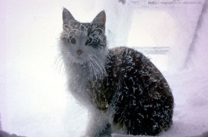 This snow cat, Inga, lives at the Observatory. The summit cats mostly stay indoors during the winter.
