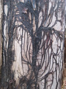 Modern art in the forest: the exposed veins of a tree.