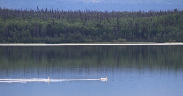 Trumpeter swans on Dezadeash Lake.