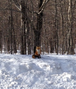 Okay, the fox wasn't at Bretton Woods, but I did see him on Route 302, just a few miles away, on my way to the mountain.