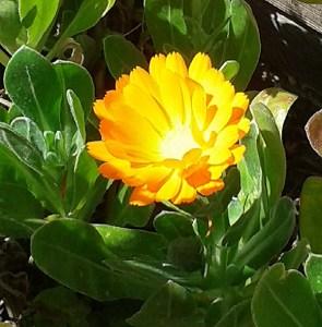 Flor de calèndula. A la fotografia destacada, una caputxina. Tant l'una com l'altra donen color i aroma a les amenides. Fotografies: Jesús Mestre