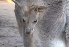 Photo of Innovadora iniciativa para salvar canguros