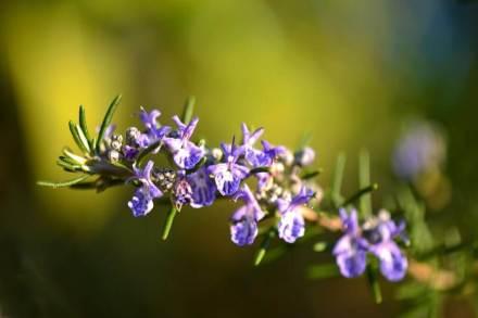 Flores de romero recetas artesanales
