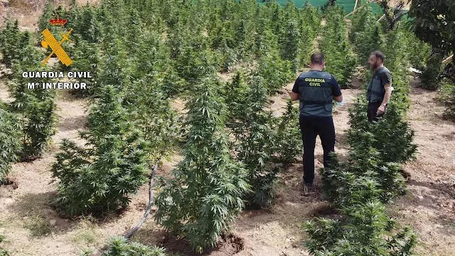 Un-detenido-y-cerca-de-1.200-plantas-de-marihuana-intervenidas-en-una-macroplantacion-en-Jarandilla-de-la-Vera-Caceres-1