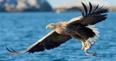 En plena cuarentena, se vio un águila de cola blanca por primera vez en 240 años