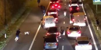 cabra, detiene, tráfico, autopista, minutos, vídeo,