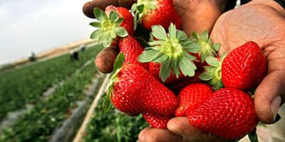 jornalero, agricultores, pagaran, sueldos justos, trabajadores,