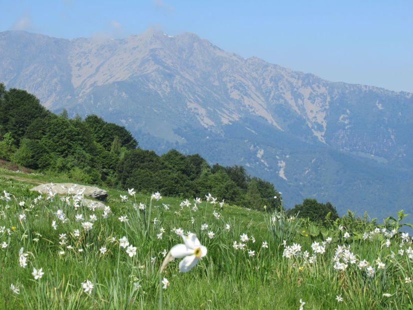 fioritura narcisi monte Pigna