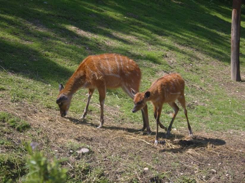 springbok nel Parco Natura Viva