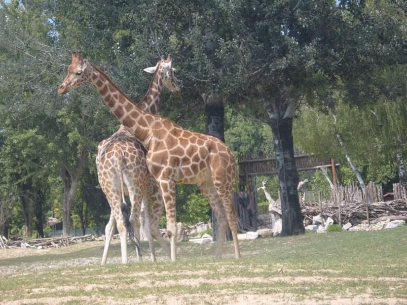 giraffe nel Parco Natura Viva
